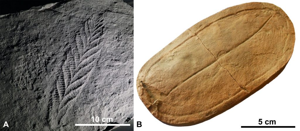 A) Charnia masoni holotype from Charnwood Forest, Leicestershire, England; B) Dickinsonia, Ediacariano, Neoproterozoico - Redpath museum, Montreal - Wagner Souza-Lima, 2018